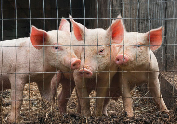 Adopt a Piglet – Hire Me 1066 – Hastings Digger & Driver Hire